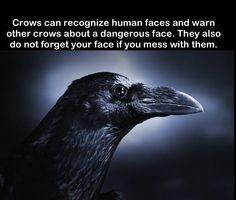 This is oerfect I want a crow. And there are a lot by my house (x they dont really fly away when I come around maybe they recognize me now