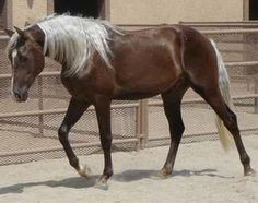 chocolate palomino - love the contrast of the mane & tail to the body color