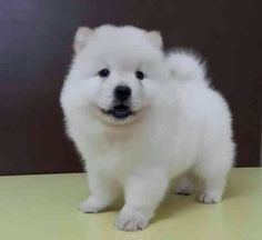 89 Best Chow Chows Images Doggies Cute Dogs Cutest Animals