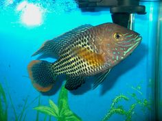 """A mid-sized Green Terror Cichlid. Looks a lot like the """"Rainbow Fish"""" from that children's book!"""