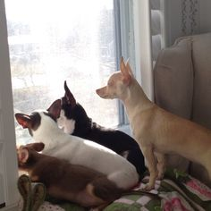 I want a whole herd of Chihuahuas! (I already have 4) need alot more!