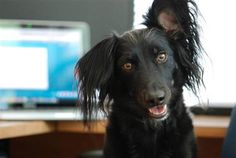 Dogs rule the office: 16 Take Your Dog to Work Day photos - Animal Tracks
