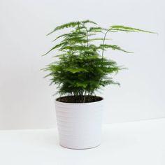 Asparagus Fern Also Known As Plumosa Fern House Plant - flowers & plants Indoor Ferns, Best Indoor Plants, Indoor Garden, Outdoor Plants, Herb Garden, Fern Houseplant, Fern Plant, Asparagus Fern, Ficus Bonsai