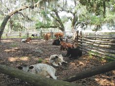 Florida Cow Camp - Cracker Cattle  (First brought to Florida in 1521 by Ponce de Leon)
