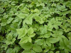 Giersch - non combattere ma usalo come verdura selvatica sana, Easy Garden, Herb Garden, Vegetable Garden, Art Rose, Balcony Plants, Healing Herbs, Clematis, Herbal Medicine, Horticulture