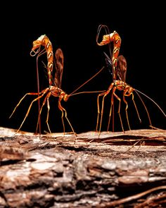 Giant Ichneumon Wasps by Igor Kovalenko on 500px