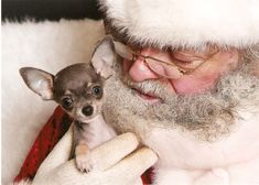 Telling Santa what she wants for Christmas oh and that she has been a good girl. Chihuahua