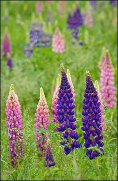 Wild Lupine flowers blooming along the roadside; Lupine Flowers, Flowers Nature, Wild Flowers, Beautiful Flowers, Canada Tattoo, Thinking Day, Prince Edward Island, Anne Of Green Gables, Beautiful Islands