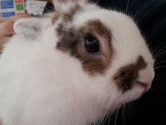 Pixie, Lionhead Lop rabbit, 6-12 Months, Longview Kennels