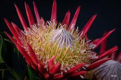 """King Protea or Grootsuikerkan"" - Google Search"