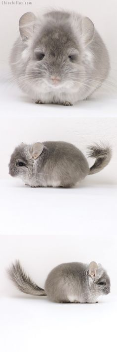 Chinchilla or related item offered for sale or export on Chinchillas.com - 17210 Violet CCCU Royal Persian Angora Male with Ear Tufts Chinchilla