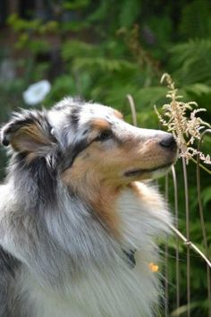 Summer Shelties - Sheltie Nation This one looks a lot like my girl.