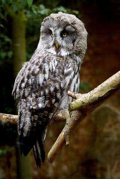 funkysafari: Great Grey Owl by Martin Pettitt Beautiful Owl, Animals Beautiful, Owl Species, Strix Nebulosa, Great Grey Owl, Animal Totems, Birds Of Prey, Nature Animals, Owls