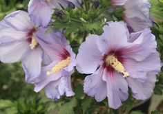 HIBISCUS syr. 'Marina' Hibiscus, Plants, Plant, Planting, Planets