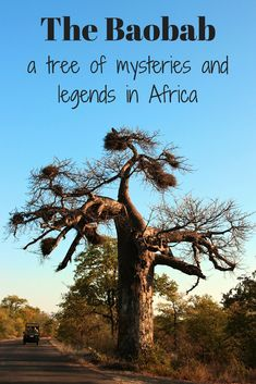 The Baobab is a tree of mysteries and legends in Africa