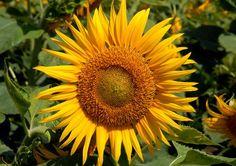 closeup snap of SUNFLOWER