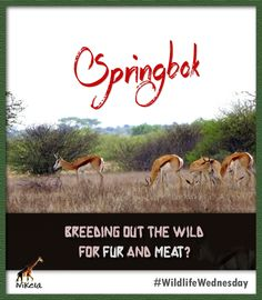 Did you know that the springbok can leap up to 13 feet? Wednesday, Wildlife, African, Happy, Ser Feliz, Happiness, Being Happy