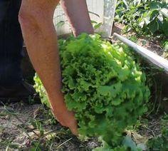 Mes secrets pour obtenir d'énormes salades bio en 7 étapes! Ma batavia près d'un arrosoir standard de 13 litres ! 1 - Semis Semer 7 à 8 graines de salades dans chaque pot et recouvrez de 2mm de terreau Pour ma part j'en sème environ 12 pots tout les 15...