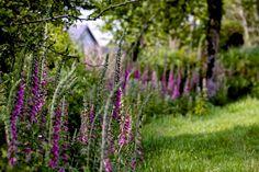 irish-garden-wild-foxgloves-gardenista