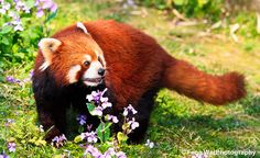 Red panda found some pretty flowers for you — you humans eat flowers right?