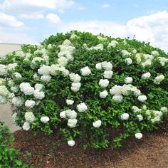 Get quick privacy, dense foliage and evergreen beauty from our Thuja Green Giant Arborvitae Evergreens! Green Giant Arborvitae, Arborvitae Tree, Green Giant Tree, Snowball Viburnum, Fast Growing Evergreens, Evergreen Hedge, Flowering Bushes, Mock Orange, Courtyards