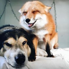 When we first met Juniper, an adorable domesticated fox, she wasfuriously hopping on a bed thinking it was a pile of snow. After being won over by her charms, we've continued to follow her on Instagram, where her human Jessika shares facets of the lively fox's everyday adventures. One constant in Juniper's life is Moose, an Australian Shepherd Malamute mix that has become her best friend. Like Juniper, Moose was rescued by Jessika at a very young age. The gentle, smiling canine was…