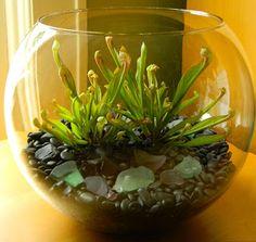Black Swan Garden Design: Carnivorous Plants