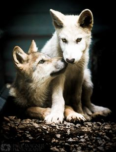 Wolf Pups  Lovely, Some men hunt them down. They are amazing creatures.