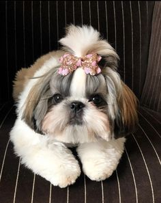 Cute Baby Dogs, Cute Dogs And Puppies, Cute Baby Animals, Perro Shih Tzu, Shih Tzu Puppy, Shih Tzus, Puppy Pictures, Cute Dog Photos, Baby Exotic Animals