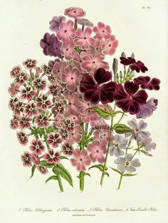 Jane Webb Loudon ~ The Victorian garden Vintage Botanical Prints, Botanical Drawings, Botanical Art, Vegetable Illustration, Plant Illustration, Phlox Flowers, Victorian Gardens, Floral Illustrations, Fauna