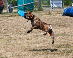 All Star Bulldogges - About The Breed Olde English Bulldogge, Doge, Bullying, Ontario, All Star, Wander, Best Friends, Puppies, Animals