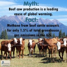 Myth: Beef cattle production is a leading cause of global warming. Fact: Methane from beef cattle accounts for only 1.5% of the total amount of greenhouse gas emissions in the United States! To compare, transportation makes up 26%. To learn more, please visit: http://buzz.mw/bap0t_n