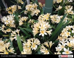 yellow-clivias-south-africa