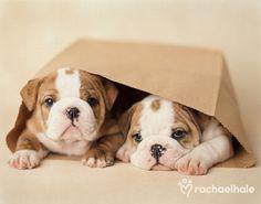 English Bulldog puppies ~ Rebel and Grumpy