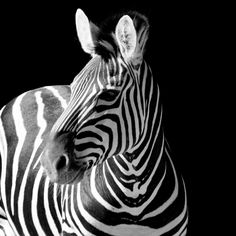 Favorite animal. Took this photo at Taronga Zoo.
