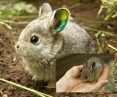 Meet the World's Smallest Rabbit. Columbia Basin Pygmy Rabbits are the world's smallest and among the rarest. < Awww <3 .