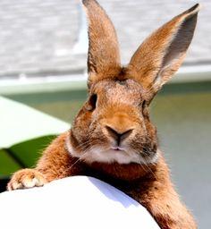 Beautiful giant rabbit