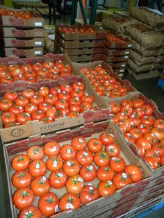 Loads of beefsteak tomatoes! Under-ripe tomato tip: slice them in half, sprinkle with salt, pepper and herbs then bake to bring out the sweetness.