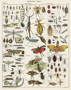 Stick Insect, Leaf Insect, Grasshopper, Cricket Oken Natural History Butterfly & Insect Prints