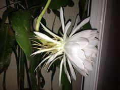 Σπάνιο λουλούδι. Ανθίζει μόνο για μια νύκτα.