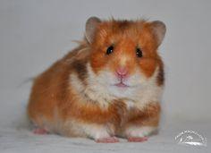 Rust lh hamster (bb - ll)