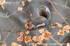 Grey squirrel collecting leaves in mouth