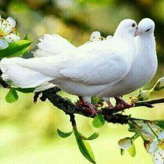 Doves love