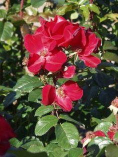 Puistoruusu 'Robusta' - Pinsiön taimisto