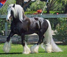 horse / beautiful gypsy