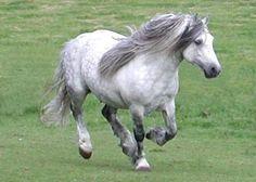 Scarba at Carlung - Highland Pony Fell Pony, Highland Pony, Wild Horses Running, Pony Breeds, Mini Horses, Magical Images, Most Beautiful Animals, Horse World, Draft Horses