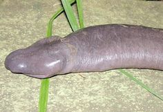 . It's called the Atretochoana Eiseltis officially by scientists. For those of us who are laymen, and we mean immature laymen at that, the media have another name for it: the penis snake, due to its very strong (and obvious!) resemblance to that popular piece of male anatomy.