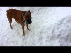 You can't teach an old dog new tricks because they already know them all.The way this little boxer pup keeps circling around the snow path after the older Boxer has already left the trail reminds me o