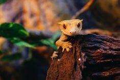 A more natural approach to keeping America's favorite pet gecko. Crested Gecko Vivarium, Crested Gecko Habitat, Reptile Room, Reptile Pets, Reptile Cage, Reptile Enclosure, Pet Lizards, Reptiles, Gecko Terrarium