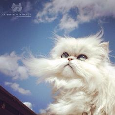 """Do i look like a cloud ☁️?"" #cat #persian"